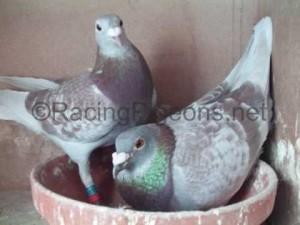 Кръстосване на спортни гълъби вътре в линията
