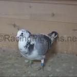 Подготовка на спортни гълъби
