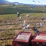 Трениране на спортни гълъби