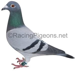 Как да изберем най-добрите спортни гълъби