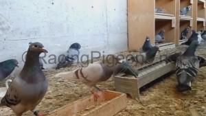 Въвеждане и задържане на спортните гълъби в добра форма