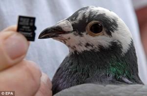 Състезателен гълъб е по-бърз от интернет