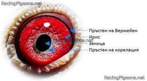 Теория за очите на спортните гълъби