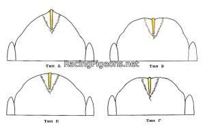 Мускулите като фактор за подобряване на линията при спортните гълъби