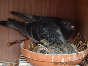 Подбор на двойките за разплод при спортни гълъби