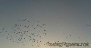 Как влияе високата температура на спортните гълъби по време на полет