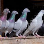 Важни стъпки при отглеждането на спортни гълъби