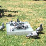 Добра хигиена при спортните гълъби