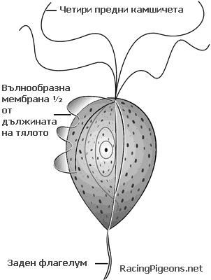 Трихомониаза Trichomonas gallinae
