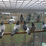 Волиера за спортни гълъби